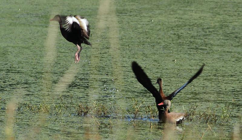 Black-bellied Whistling Ducks Grand River (2 of 2)