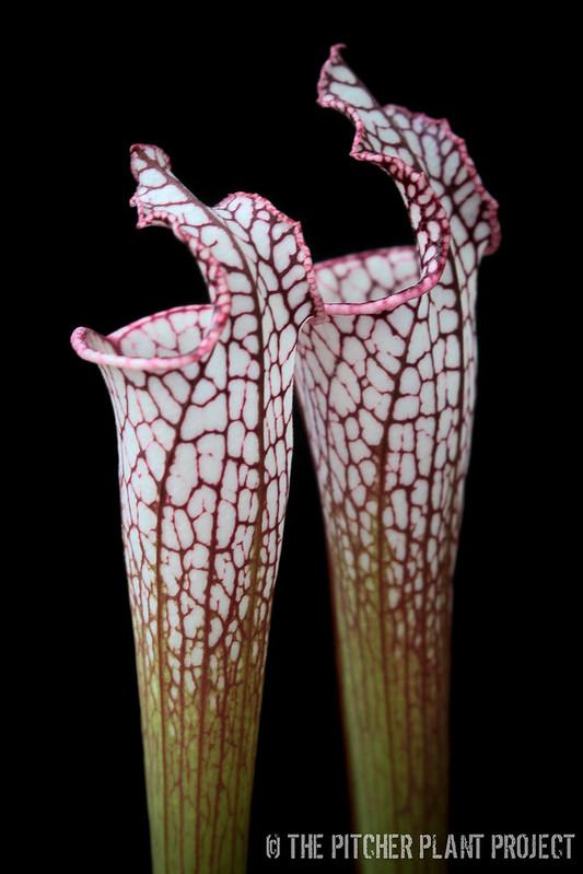 Sarracenia leucophylla 'Bris'