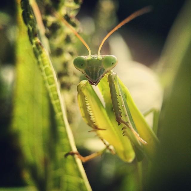 蟷螂 #mantis. #7x #macro #olloclip