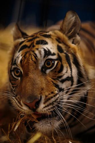 Tiger-8398