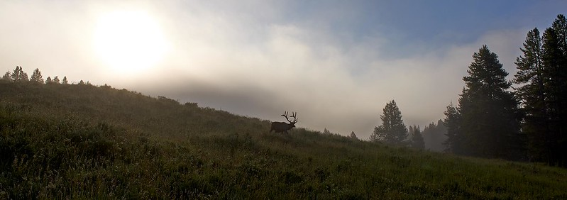 Elk at Dawn - Yellowstone National Park