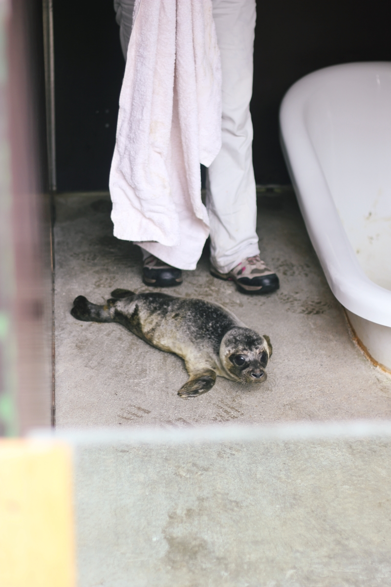 rescued seal pup