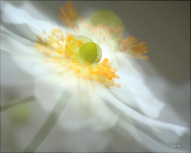 mon jardin devient guinguette quand les belles anémones valsent avec le  vent