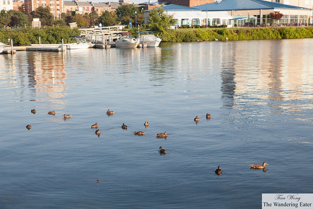 Family of ducks floating/swimming on the north side of Seneca Lake