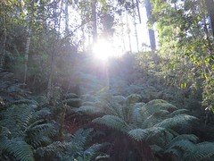 2014-08-10 Lilydale Falls 099 - Sunlight on ferns