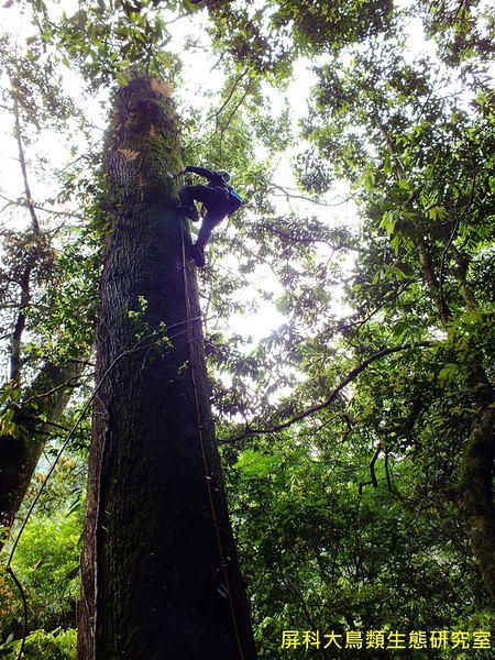 大樹是黃魚鴞生存的關鍵因素之一。圖片來源:汪辰寧、洪孝宇(屏科大野保所鳥類生態研究室)