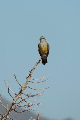 #83 Western Kingbird (Tyrannus verticalis)