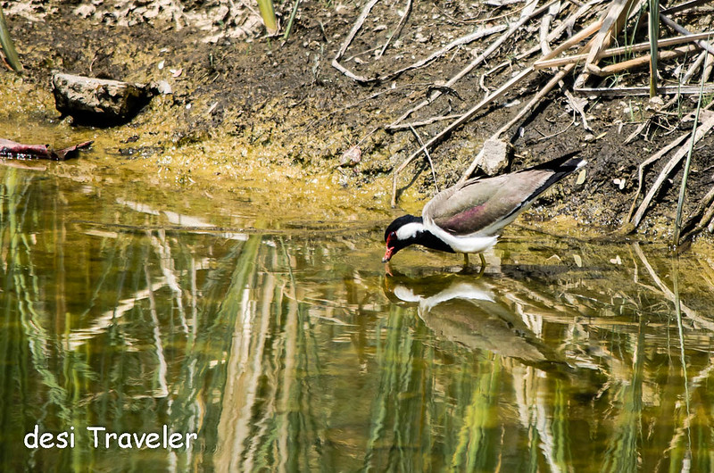 Red Wattled Lapwing drinking water