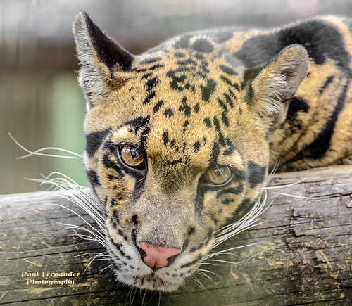 tampa zoo florida leopard cloudedleopard lowryparkzoo tampazoo lowrypark leopardclouded tampalowryparkzoo