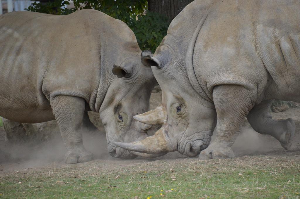 Fighting rhinos
