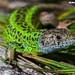 Lagarto-de-água, Iberian Emerald Lizard (Lacerta schreiberi) - em Liberdade [in Wild]