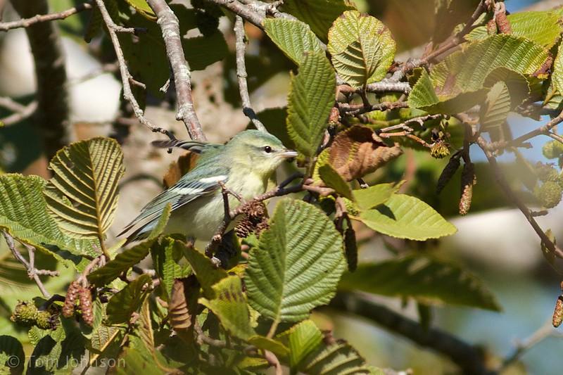 Cerulean Warbler - Maine