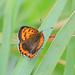 Small photo of American Copper (Lycaena phlaeas)