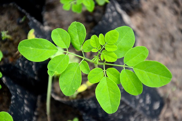 Young Moringa tree