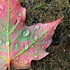 Fall Leaf, Wet Sidewalk