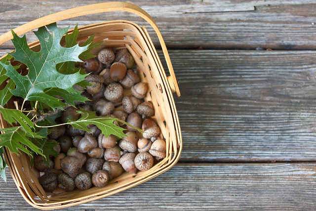 basket of acorns
