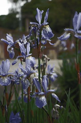 english lavender(0.0), scilla(0.0), flower(1.0), iris versicolor(1.0), plant(1.0), wildflower(1.0), flora(1.0),