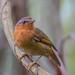 Rufous Gnateater - Brazilian Birds - Species # 189 by Bertrando©