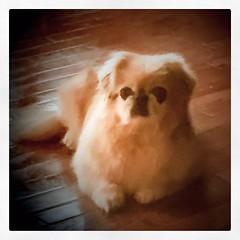 #cutenessoverload @misterdough Miss Lulu Chocolate Chip Kroner is too #cute #dog #doglove🐶 #dogloversofinstagram #woofstagram_dogs