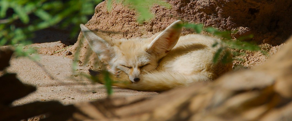Fennec Fox (Vulpes zerda)_7