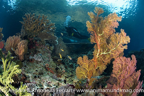 reefwondersdotnet posted a photo:	Seascape with diver among hard and soft corals, Raja Ampat, West Papua, Indonesia