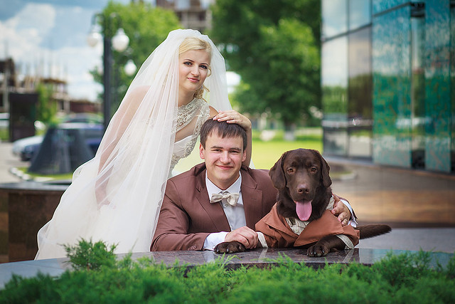 Labrador - Groom's Best Man
