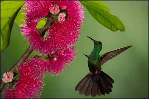 red bird feet nature photography fly costarica hummingbird feeding action wildlife birding flight sideview centralamerica colibri foraging oneanimal bronzetailedplumeleteer chalyburaurochrysia leastconcern colibrie chrisjimenez birdstours