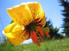 Bosanski ljiljan ili zlatni ljiljan (Lilium bosniacum)