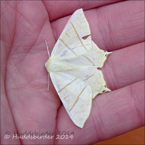 Swallow tailed Moth - 1922
