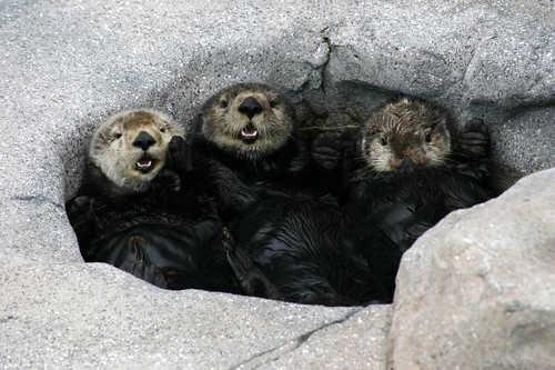 3 adorable fuzzy sea otters peeking out of a rock cave.