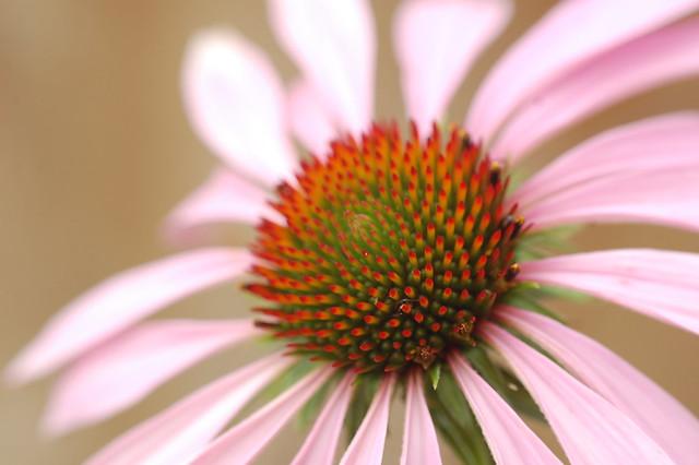 Close of Echinacea flower