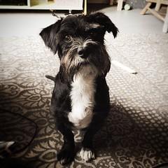 #umlaut #quornflour #schnauzerofinstagram #schnauzer #dogsofinstagram #pup #cute #bestdogever #shadow