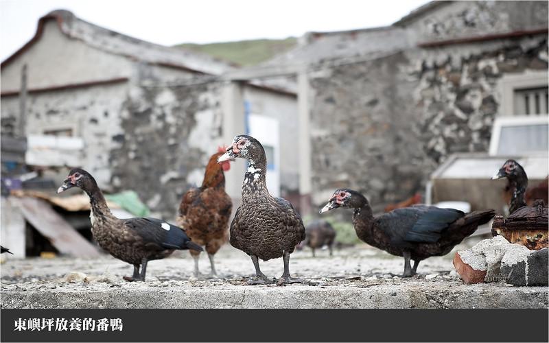 東嶼坪放養的番鴨