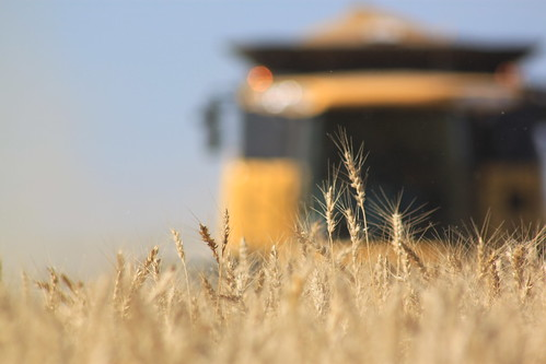 Harvest is even more fun when the wheat is good.