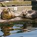 Harbor seals - Poulsbo, WA by Belltown