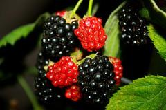 flower(0.0), wine raspberry(0.0), raspberry(0.0), zante currant(0.0), blackberry(1.0), tayberry(1.0), shrub(1.0), berry(1.0), red mulberry(1.0), plant(1.0), macro photography(1.0), frutti di bosco(1.0), produce(1.0), loganberry(1.0), fruit(1.0), food(1.0), boysenberry(1.0), dewberry(1.0), mulberry(1.0), bramble(1.0),