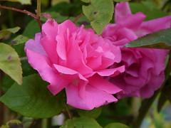 shrub(0.0), camellia sasanqua(0.0), rosa rugosa(0.0), annual plant(1.0), garden roses(1.0), rosa 㗠centifolia(1.0), floribunda(1.0), flower(1.0), rosa gallica(1.0), plant(1.0), flora(1.0), rosa chinensis(1.0), pink(1.0), petal(1.0),