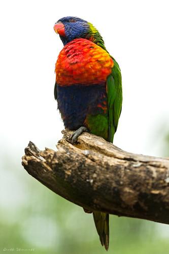 bird nikon australia rainbowlorikeet 70200 huntervalley d800e