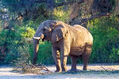 Desert Elephants of Namibia (Puros)