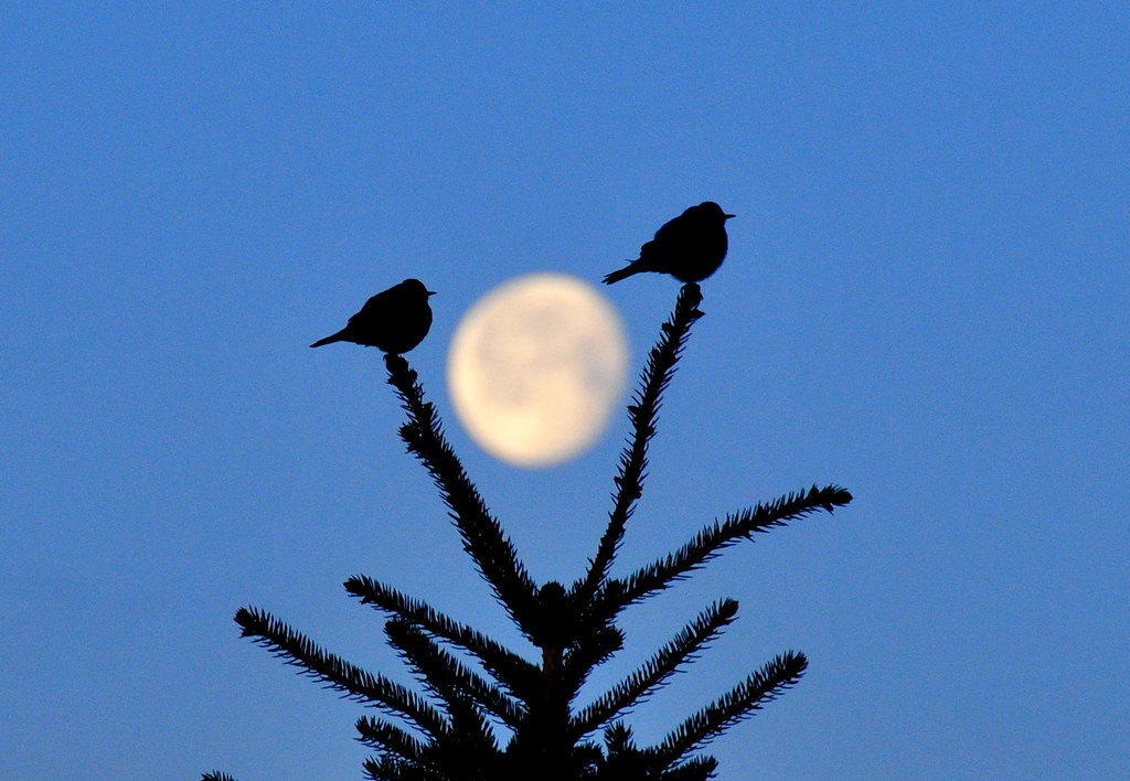Mountain bluebirds silhouetted by moon Seedskadee NWR