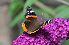 Vlinders / Butterfly