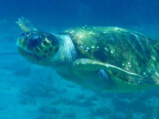 Crete - Turtle