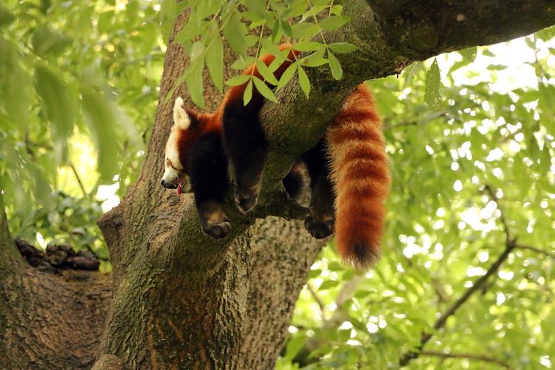 Red Panda chill