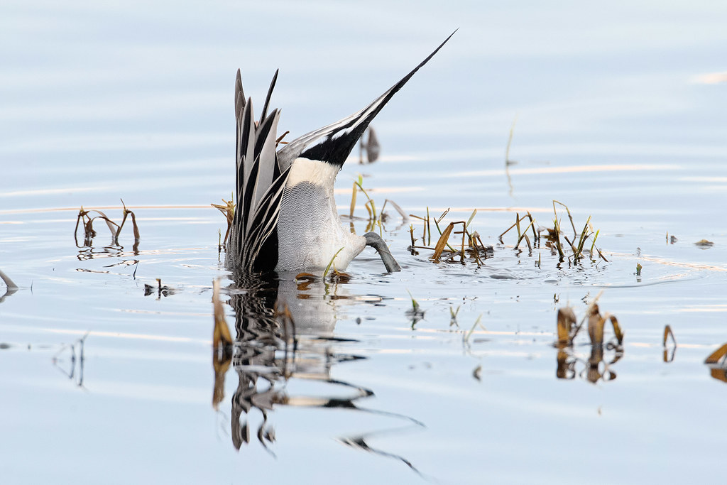 A northern pintail drake dabbles in the shallow waters of Horse Lake