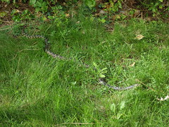 Snake, nearly entire