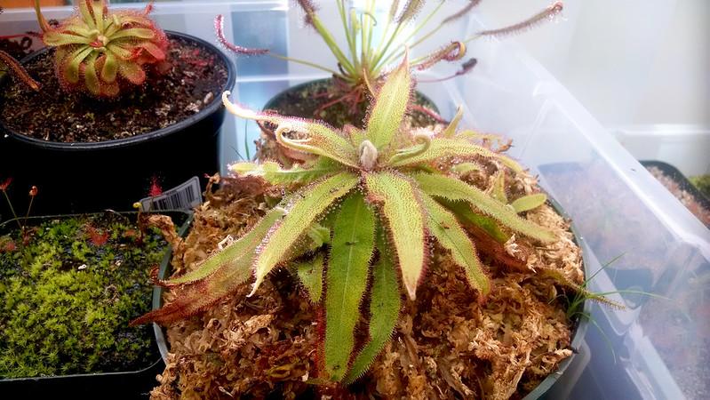 Large Drosera adelae.