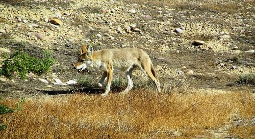 Hola Señor Coyote