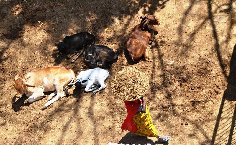 174 casa de vacas en Natwara (7)