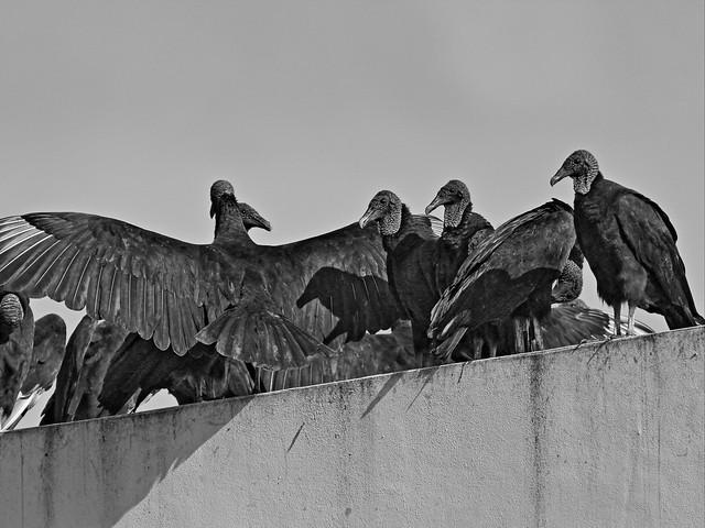 Black Vultures gathering 20140907