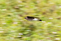 Southern Rough-winged Swallow ; Trinidad